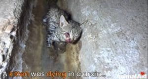 Tiny kitten dying in drain, rescued