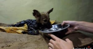 puppy covered in tar rescued