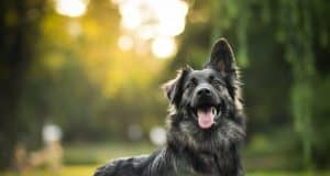 crossbreed dog german shepherd