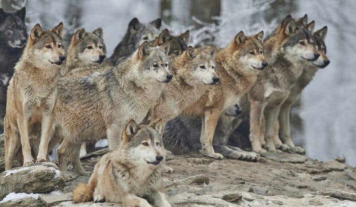 pack of wolves in snow