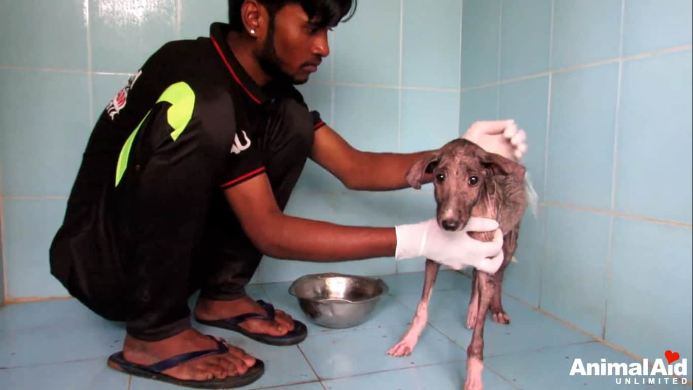pup injured infected with mange_4