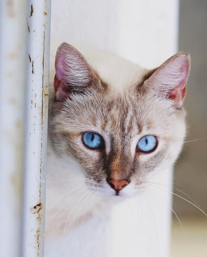 white and brown blue-eyed cat by the white metal frame
