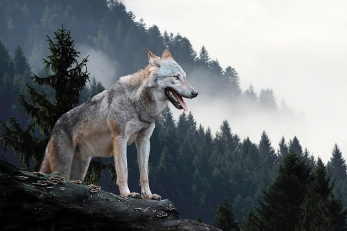 wolf hunting in a mountain