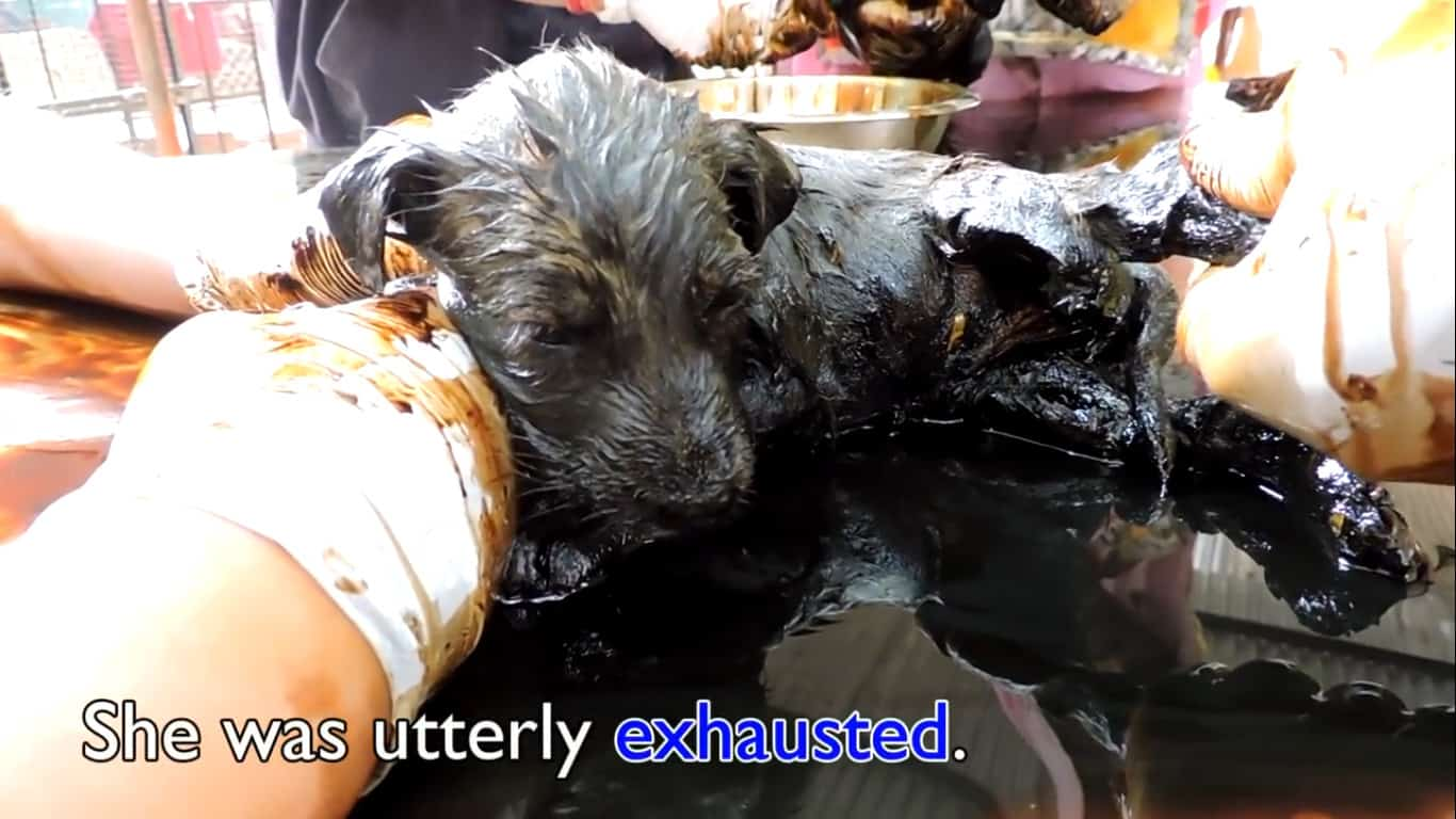 3 pups stuck in tar 5