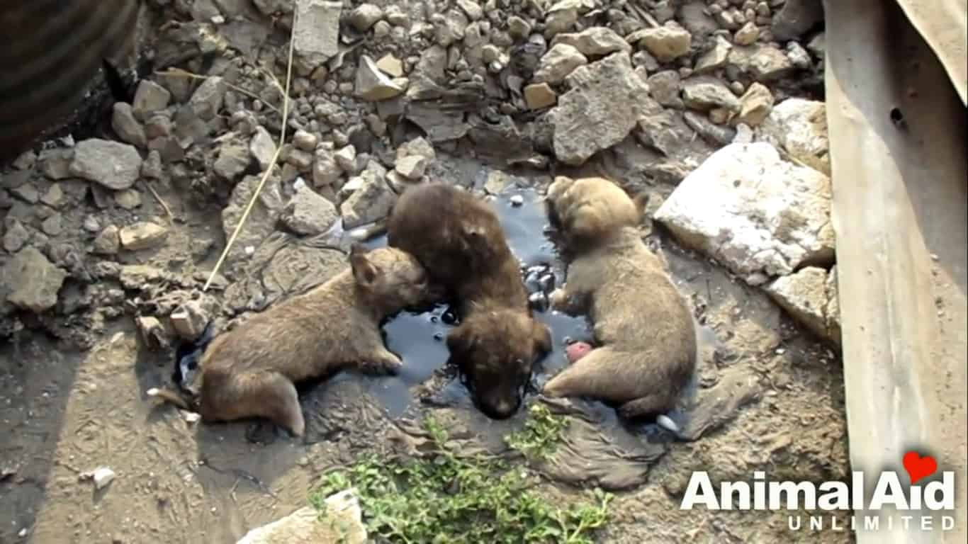 3 pups stuck in tar _1